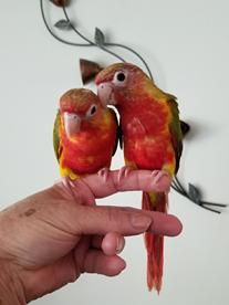 bird, red, factor, red-factor, factors, pieapples, pineapples, handfed, tame, birds, conure, conures, pineapple conures, companion, bright, gentle, sweet, burd