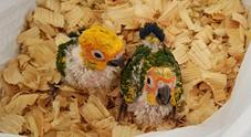 pineapple, pineapples, green cheeks, conures, conure, bird, birds, babies, hand-feeding, green-cheeked, mutation, mutations, yellow-sideds, yellow-sided, yellowsideds, yellowsided, pet, companion, birds