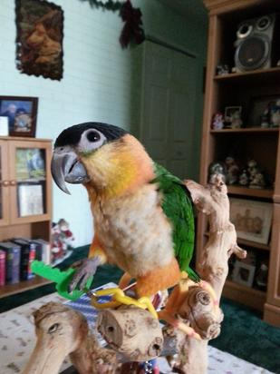 black, Black-headed, blackheaded, head, caique, caiques, bird, birds, parrot, parrtos, talking, noise, perches, playtime